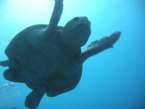 Silhouette of Sea Turtle