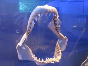Great White Shark jaw bone