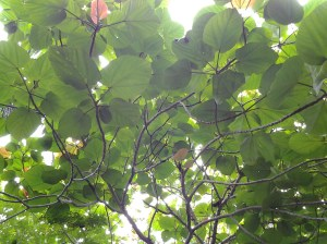 A type of fig tree. Adam and Eve would have a difficult time covering up.