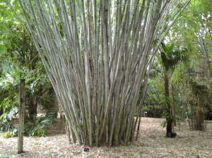 I thought this was a type of bamboo, but I could be mistaken and it might be a type of palm.