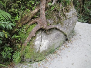 An unusual tree that has grown into this rock. Near the trail head that is bush forest.