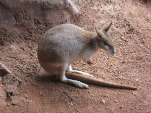 Nope - not a Kangaroo, but a Wallaby, which is a bit smaller than a Kangaroo.