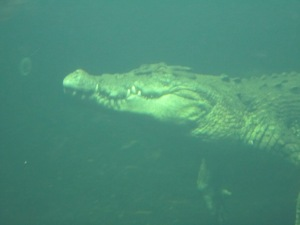 This crocodile was easily 22 feet in length and more likely, 25 feet.