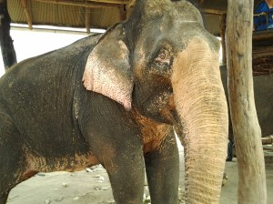Elephant at Pai sanctuary.