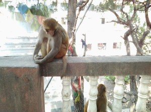 The main reason this place is called the Monkey Temple by tourists.