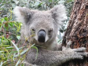 Koala bear in Sydney, Australia Zoo.