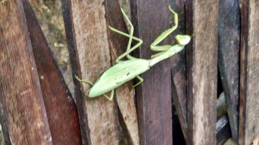 "My peace and serenity at Thongbay Guesthouse was only disturbed once by this ""alien"" from another planet. OK, ok, it's a harmless Preying Mantis, albeit, I did not find this out until later. However, it was 7 inches long and it scared the shit out of me. Moreover, it was heading directly up the wall of my bungalow, toward my door. Fortunately, I flagged down a hotel worker (who knew it was harmless) and he flicked it away."