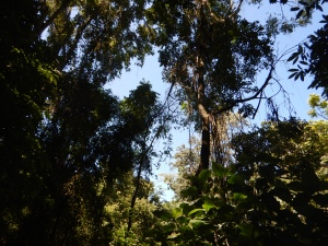 Mountain jungle tree canopy.